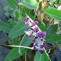 紫芋  水生植物 水生紫芋  紫芋苗 快乐飞艇绿化 小区绿化