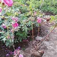 大量供应四季玫瑰,水蜡,金娃娃萱草,三七景天