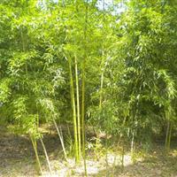 黄槽竹 黄槽竹小苗  园林绿化 小区绿化