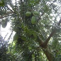香榧树30公分