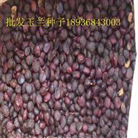 紫玉兰种子报价 紫玉兰种子种植方法及简介 林木种子批发