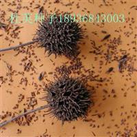 杜英种子报价 杜英种子种植方法及简介 林木种子供应