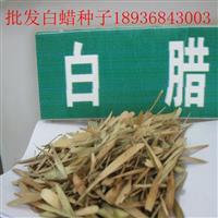 白蜡种子报价 白蜡种子播种方法 林木种子批发