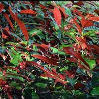 红背桂价格,供应20-30厘米红背桂