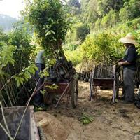 广东地区长期供应沉香树沉香苗