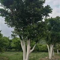 浙江常山供应精品胡柚树