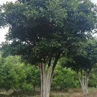 7米以上精品胡柚树