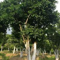 浙江常山6-7米实生移栽胡柚树