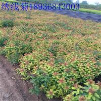 金焰绣线菊价格 种植绣线菊技术及图片 苗圃直销绣线菊苗