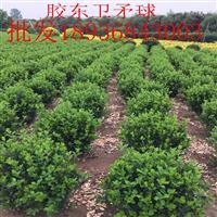 胶东卫矛球价格 胶东卫矛球种植技术 苗圃直销卫矛球
