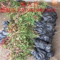 红南天竹价格 南天竹种植方法及简介 苗圃直销南天竹苗