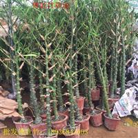 佛肚竹价格 佛肚竹种植技术及图片 苗圃直销佛肚竹苗