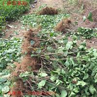 丁香苗價格 丁香種植技術及簡介 苗圃直銷藥用丁香苗