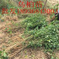 乌桕苗价格 乌桕种植方法及简介 乌桕苗苗圃直销