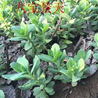 八宝景天价格 八宝景天种植方法及简介 苗圃直销八宝景天苗