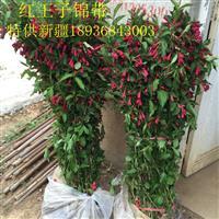 红王子锦带价格 红王子锦带种植方法及简介 苗圃直销