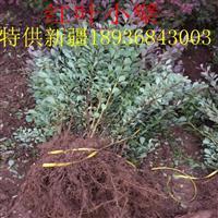 红叶小檗价格 红叶小檗种植方法及简介 苗圃直销红叶小檗