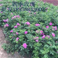 四季玫瑰价格 四季玫瑰种植方法及简介 苗圃直销四季玫瑰