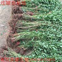 连翘价格 连翘种植方法及简介 连翘苗圃直销
