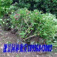 红王子锦带丛生价格 红王子锦带10分支图片及种植方法