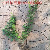 小叶扶芳藤价格 小叶扶芳藤种植方法及简介 苗圃直销