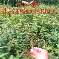 金丝桃价格 金丝桃种植方法及简介 金丝桃图片