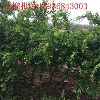 软籽石榴苗价格 石榴树种植方法及简介 果树苗批发