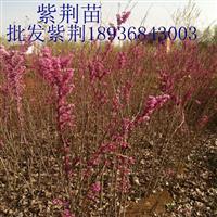 紫荆树苗价格 紫荆树种植方法及简介 紫荆苗图片及批发