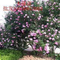 重瓣木槿苗价格 重瓣木槿花种植及简介 木槿苗圃直销