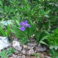 水生鳶尾價格 鳶尾種植方法及簡介 苗圃直銷鳶尾苗