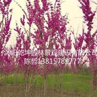 供应樱花,紫荆,紫薇,紫藤花