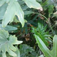 花叶良姜、春羽、玉簪、美人蕉、杂酱草、吊兰、花叶络石、鸭脚木