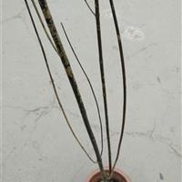 变叶木、红瑞木、鹤望兰、海芋、橡皮树、针葵、散尾葵、塔榕