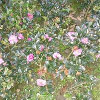 茶梅、寸桃、白兰、金弹子、三角梅、小叶含笑、夹竹桃、迎春