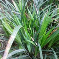 麦冬、红花葱兰、葱兰、吉祥草、小叶麦冬、米兰、兰花三七