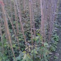 油麻藤、紫藤、金银花、常春藤、爬山虎、花叶常春藤、血藤等藤类