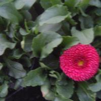 波斯菊、四季海棠、虞美人、长春花、三色堇、牵牛、石竹、天竺葵