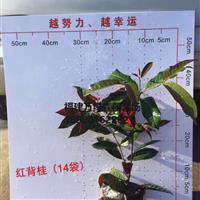 福建红背桂袋苗出售,漳州红背桂杯苗/小袋苗价格,红背桂报价