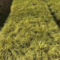 江苏【观赏地被草】产地直销供应,细茎针茅,粉黛乱子草,细叶芒