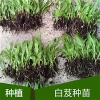 四川重庆贵州白芨种植白芨种苗白芨价格