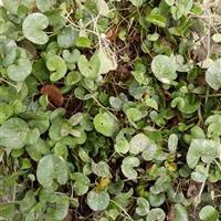 混播草、台湾二号、马蹄金、百慕大、狗牙根、草坪、草籽
