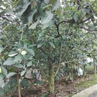 苹果树、核桃、红富士、红露、大壳壳、香铃、杏子树、柿子