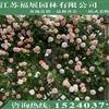 藤本月季供应/藤本月季图片