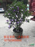 紫花茉莉供应/紫花茉莉图片