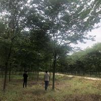 供應櫸樹 紅櫸 櫸樹基地