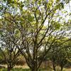 香泡树 丛生香柚树 移植胡柚树树 胡柚树价格