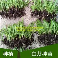 四川白芨种植重庆白芨种植贵州白芨种植