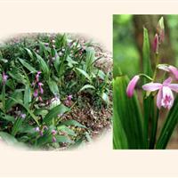湖北安徽江西白芨种苗种植一年四季都可栽种