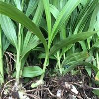 山西陕西白芨种苗种植基地种苗批发