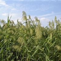 芦苇 产地杭州 质优价廉 存活率高 苗圃直销 数量足